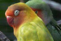 7-Penyakit-Burung-Lovebird-Dan-Solusinya