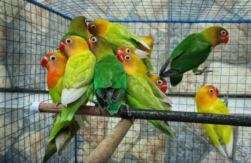 Memilih-Lovebird