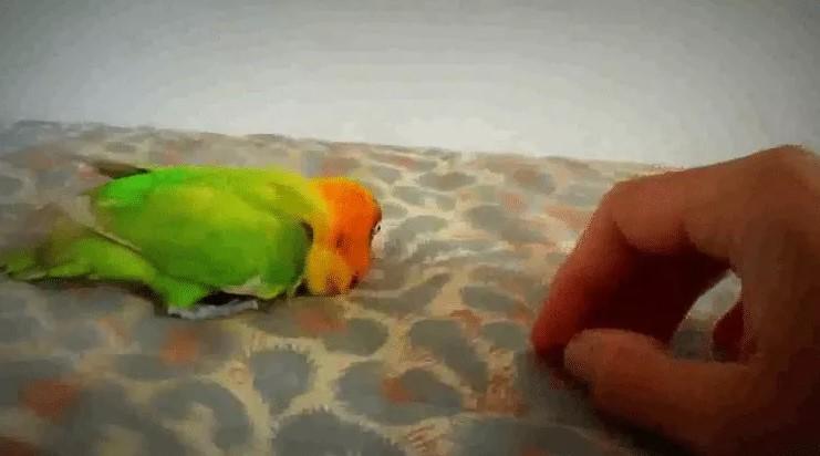 Lovebird-terserang-penyakit-kaki-lemas