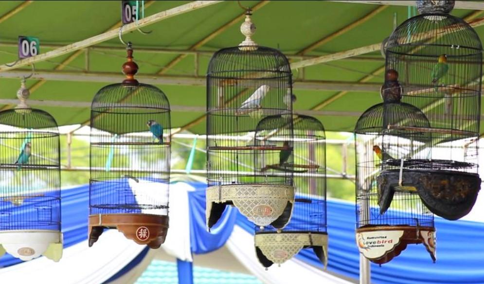 Mengenal Lomba Burung Lovebird Di Arena Kontes Gantangan