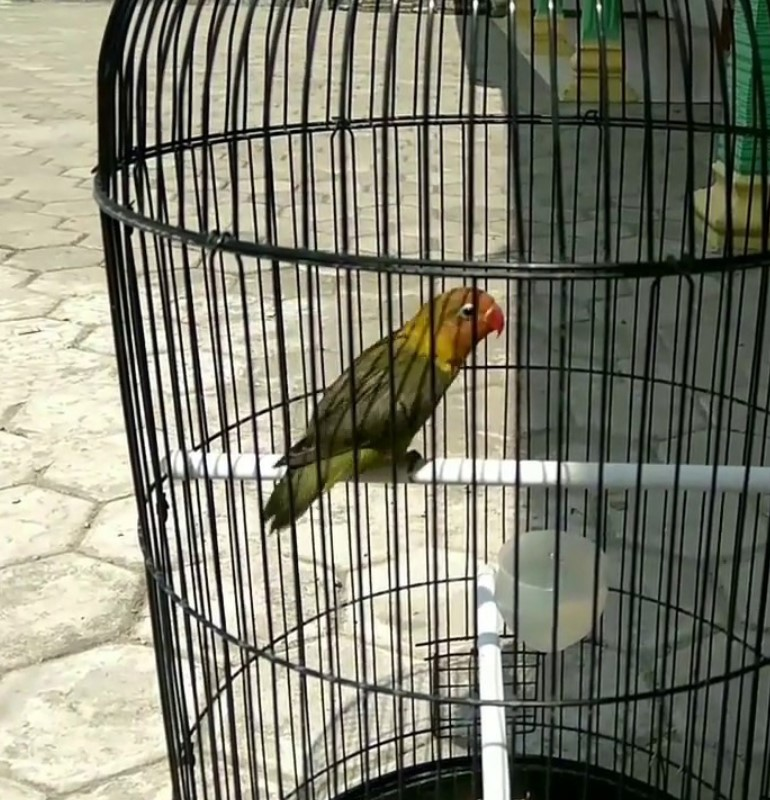 Cara Mudah Perawatan Burung Lovebird Agar Bermental Baja