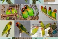 Jenis-Lovebird