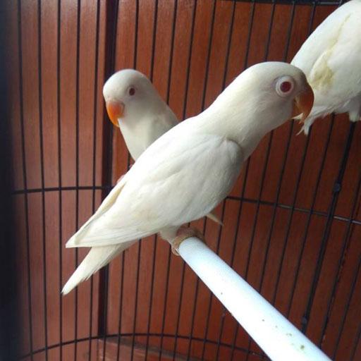 Lovebird-Albino
