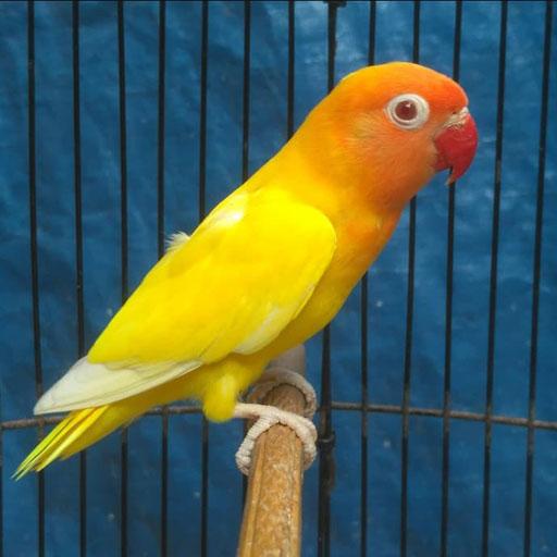 9-Jenis-Burung-Lovebird-Terbaik-Di-Indonesia-Harga-Suara