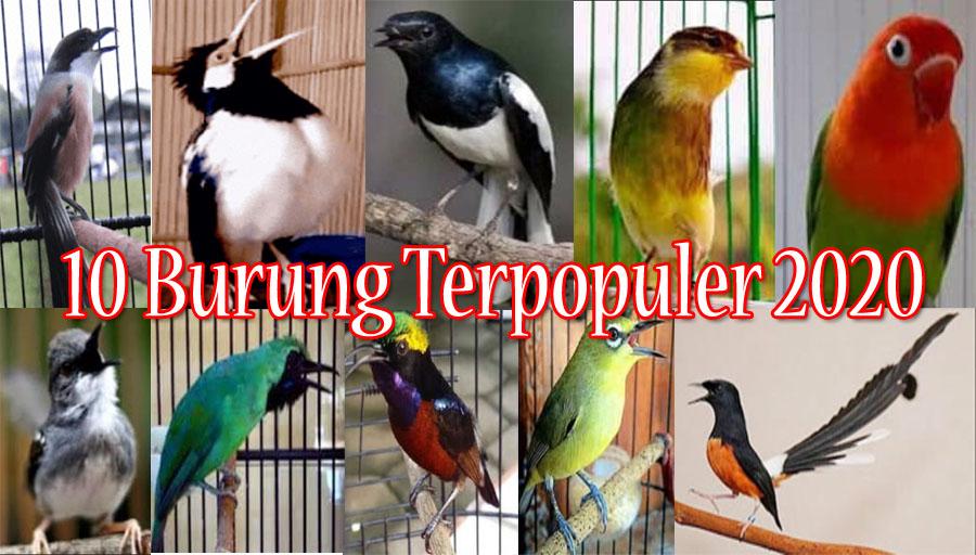 10 Jenis Burung Kicau Yang Sedang Terpopuler 2020 Di Indonesia