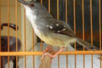 3-Tips-Jitu-Ternak-Burung-Prenjak