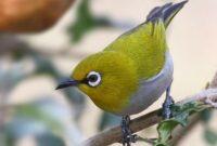 4-Manfaat-Cabai-Untuk-Burung-Pleci-Agar-Rajin-Berkicau