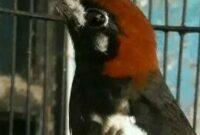 Burung-Anis-Kembang