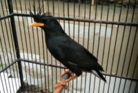 Burung-Jalak-Thailand