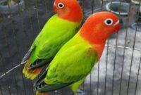 Burung-Lovebird-Biola