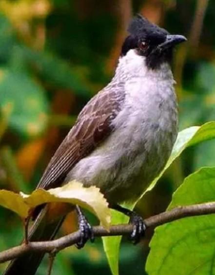 5 Jenis Burung Kutilang Yang Mempunyai Suara Merdu