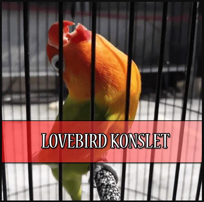 Cara Bikin Lovebird Konslet Ngekek Terus Di Gantangan Moncer