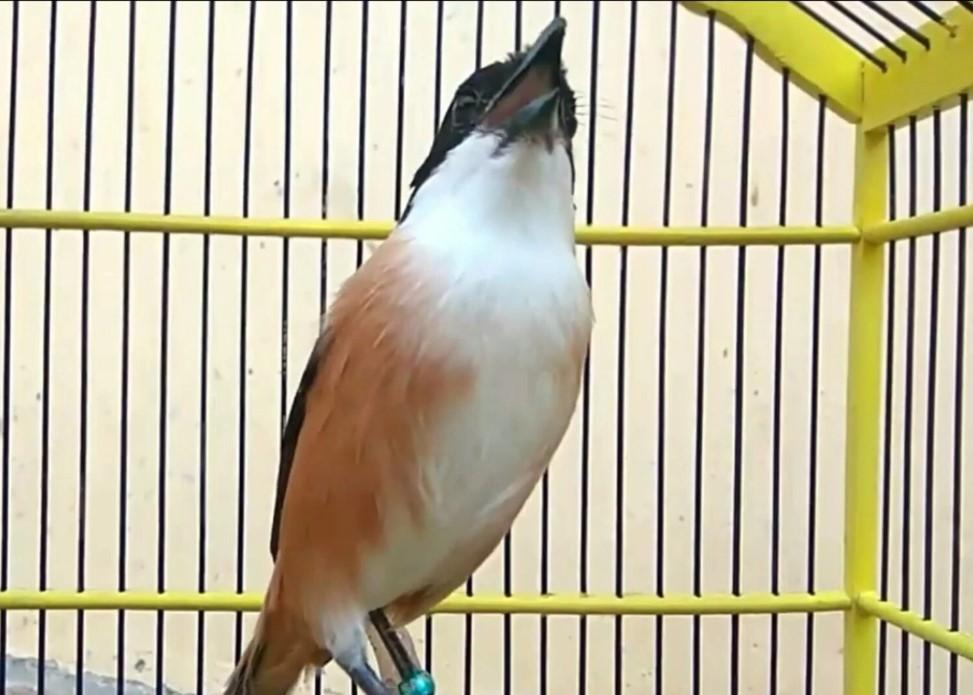 Rahasia Perawatan Burung Cendet Pentet Agar Cepat Gacor
