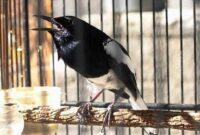 Cara-Mengatasi-Burung-Kacer-Giras-Dengan-Mudah