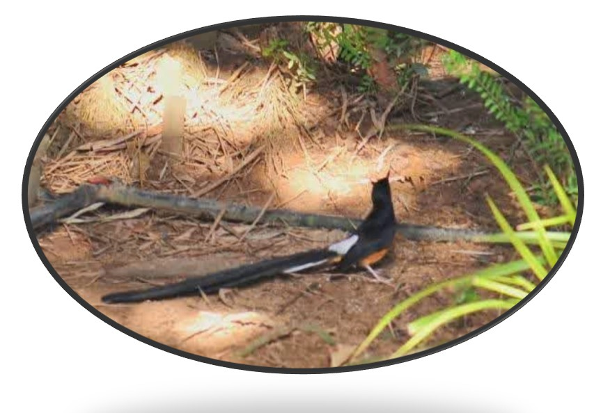 Cara-Merawat-Burung-Murai-Batu-Tangkapan-Hutan