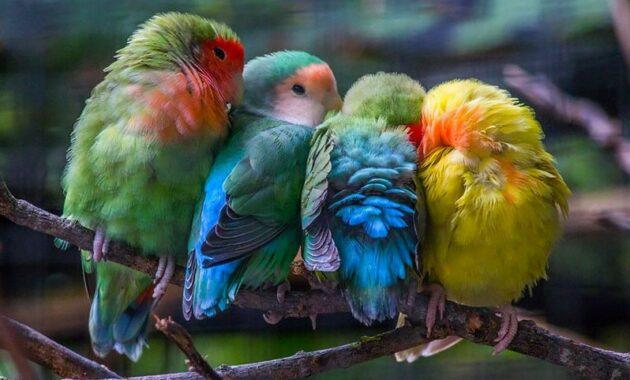 Cara-Merawat-Lovebird-Import