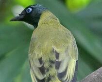Mengenal Jenis Burung Cucak Cucakan Yang Ada Di Indonesia
