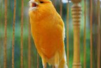 Download-Suara-Burung-Kenari-Gacor-MP3