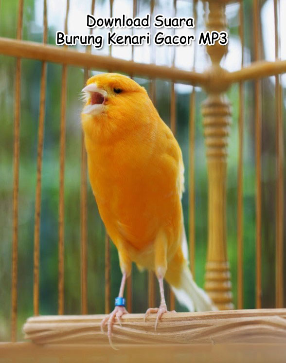 Kumpulan Download Suara Masteran Burung Kenari Gacor Mp3