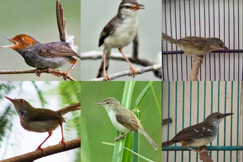 Cara Merawat Burung Prenjak Kepala Merah Pakan Multivitamin
