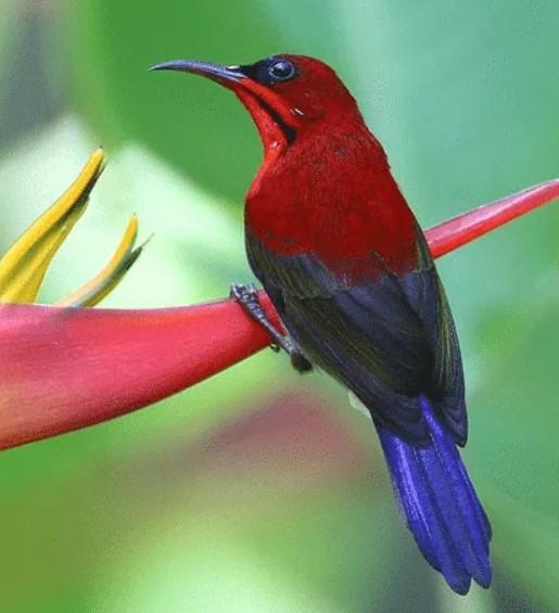Kolibri-Jawa
