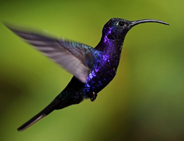 Kolibri-Lebah