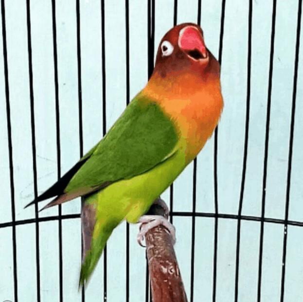 Lovebird-Konslet-di-Gantangan