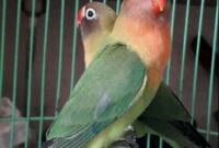 Lovebird-Untulan