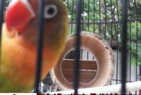 Manfaat-Terapi-Bambu-Gila-Untuk-Perpanjang-Duras- Ngekek-Lovebird