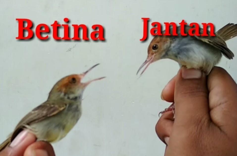 3 Cara Mudah Sukses Beternak Burung Prenjak Ciblek Jawa Lokal