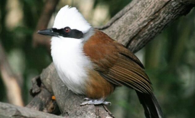 Mengenal-Jenis-Burung-Poksay-Jambul-Putih