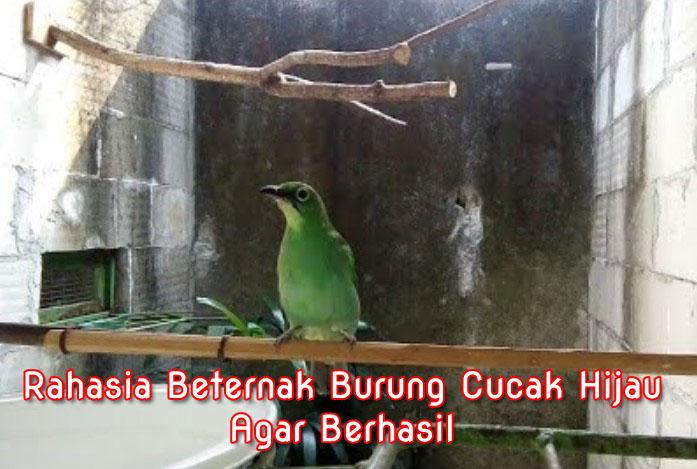 Rahasia Budidaya Ternak Burung Cucak Ijo Ci Agar Berhasil