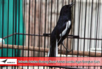 Rahasia-Setelan-Burung-Kacer-Untuk-Lomba-Agar-Bongkar -Isian