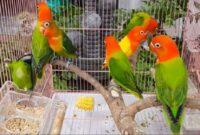 Settingan-Lovebird-koloni