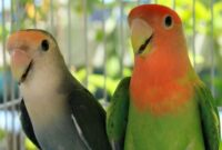 Tips-Mudah-Merawat-Lovebird-Impor-yang-Baru-Tiba