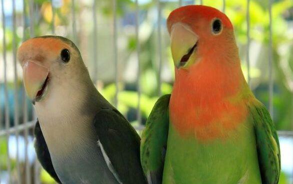 Tips Mudah Merawat Burung Lovebird Impor Yang Baru Tiba