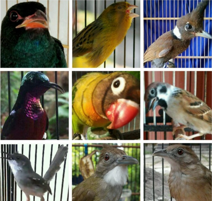 burung-asli-masteran