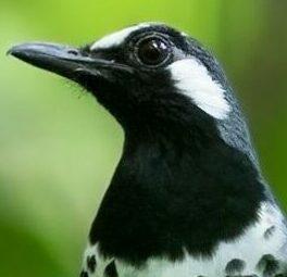 habitat-burung-anis-kembang