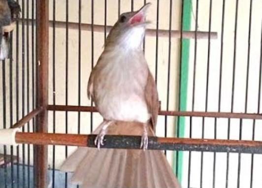 Cara Mudah Perawatan Burung Kapas Tembak Agar Cepat Buka Ekor
