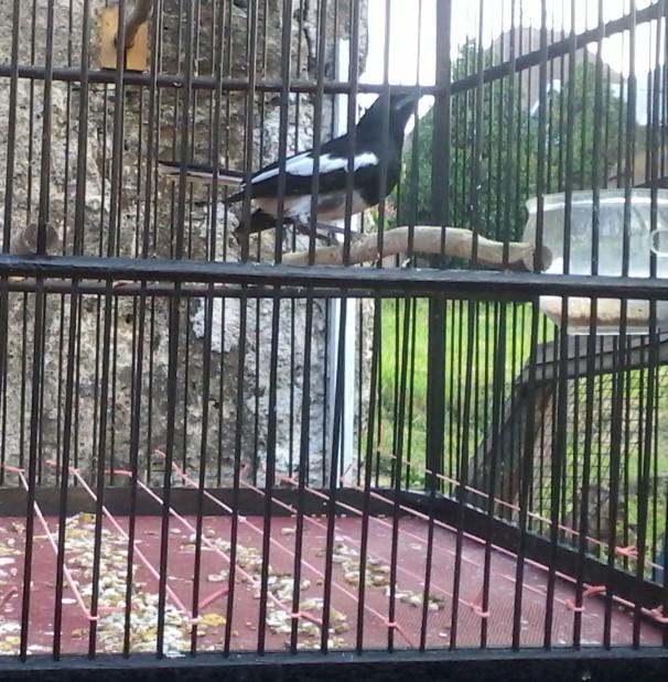 Rahasia Perawatan Burung Kacer Supaya Tampil Nagen Di Gantangan