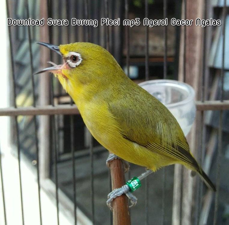 Download Suara Terbaik Burung Pleci Mp3 Ngerol Gacor Ngalas