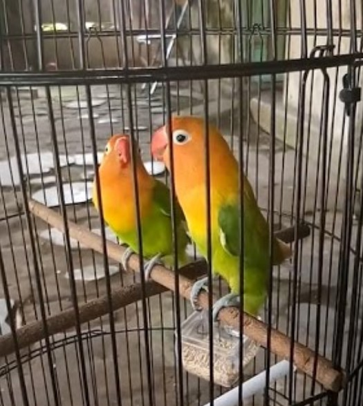 Inilah Ciri Lovebird Fighter Serta Perawatan Harian Dan Lomba