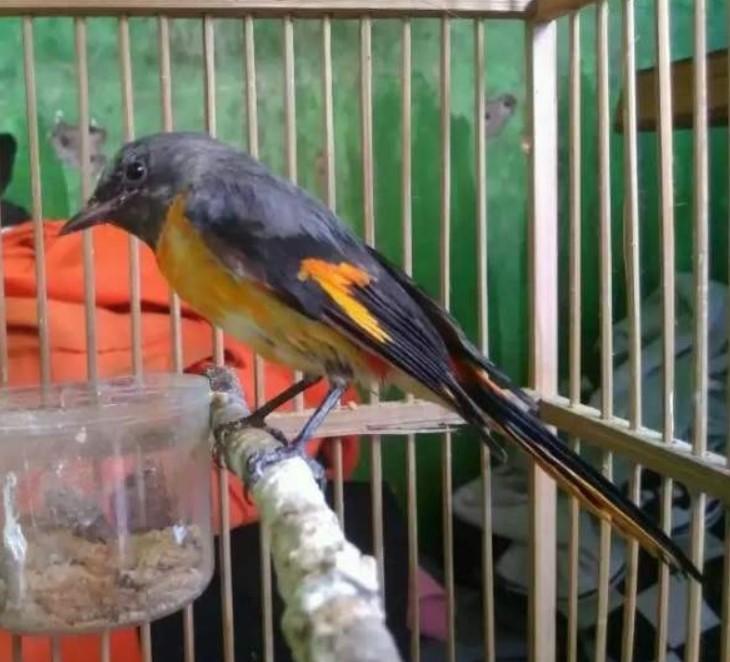 Inilah 3 Jenis Burung Mantenan Terbaik Untuk Masteran Kacer
