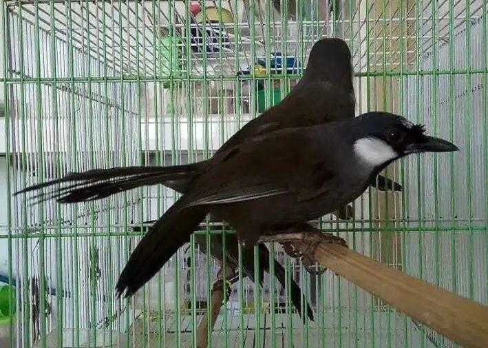 Cara Mudah Beternak Burung Poksay Hongkong Untuk Pemula