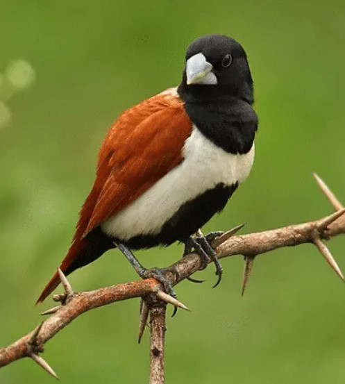 black-breasted-miniatur