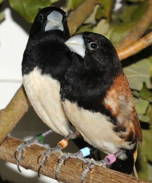 black-breasted-munia