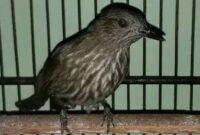 burung-cucak-rawis