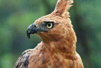 burung-elang-jawa
