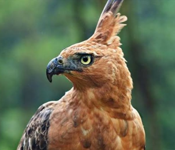 50++ Gambar hewan elang hitam putih terupdate