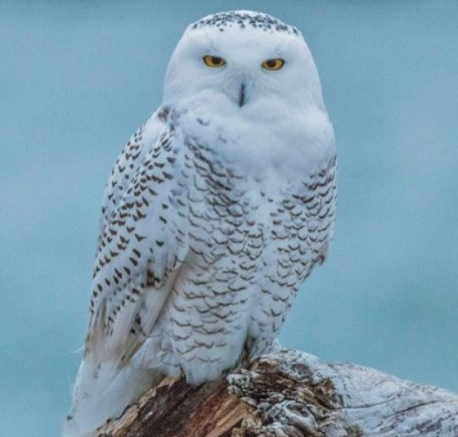 burung-hantu-Snowy-Owl